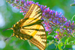CaliforniaSycamore_Swallowtail_SM