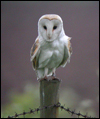 Coast Live Oak BarnOwl_SM