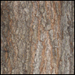 Valley Oak_Bark_SM-2