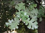 Valley Oak_Leaves_SM