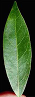CaliforniaBay_tall-leaf_SM